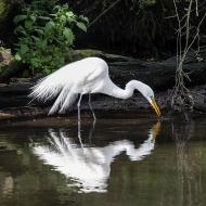 photo of Great Egret reflected in pond