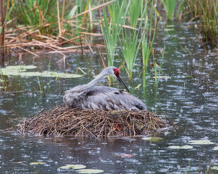 photo of Sandhill Sitting on newly hatched chick in the rain.