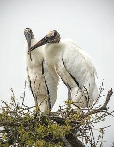 photo of Nesting Wood Storks