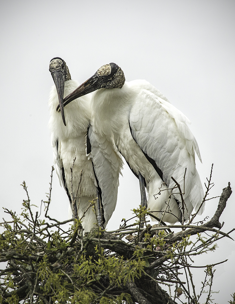 photo of Nesting Wood Storks