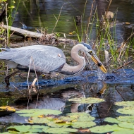 photo of Great Blue Heron catching lunch