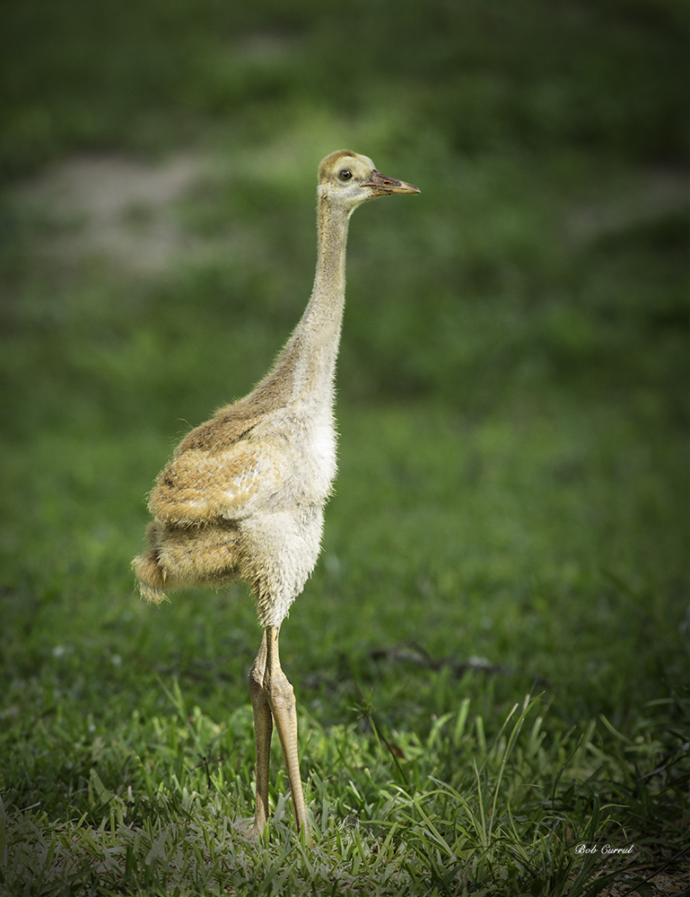 photo of Sandhill Crane Chick in a shaft of sunlight