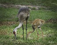 photo of Sandhill & Chick