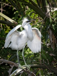 photo of Juvenile Snowy Egret, St Augustine Alligator Farm,