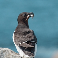 photo of Razorbill with Spearing