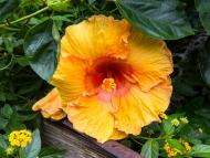 # 386 Orange Hibicus