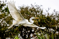 Great Egret with Nesting Material II #351