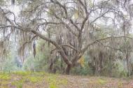 photo of Live Oak