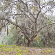 photo of Live Oak