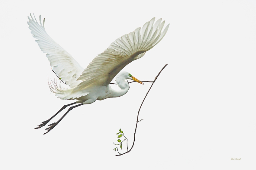 photo of Great Egret Flying Away with Branch