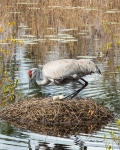 Photo of Sandhill Crane sitting on Eggs