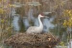 Pfhoto of Sandhill Crane sitting on nest