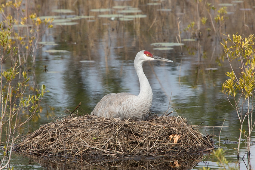 Pfhoto of Sandhill Crane sitting on nest
