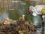 photo of Sandhill Cranes looking at chicks in nest