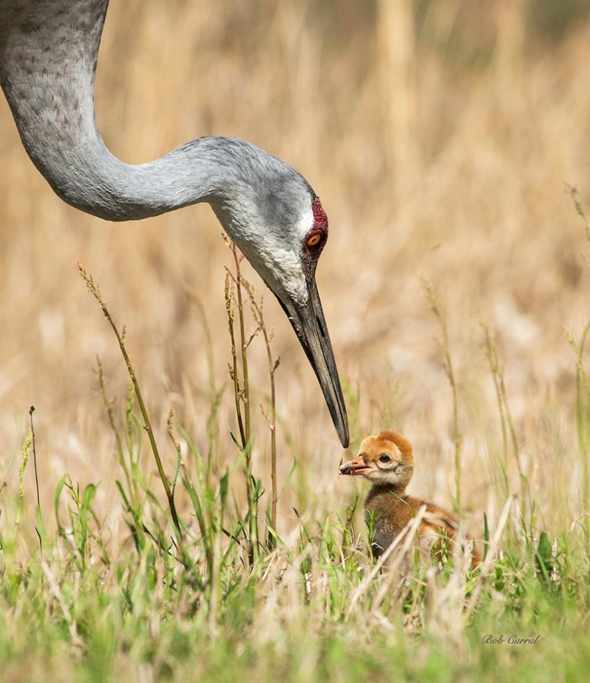 photo of Sandhill Crane feeding chick