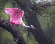 photo of Roseate Spoonbill