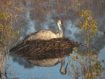 photo of andhill Crane sitting on nest in morning fog