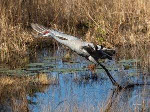 photo of Sandhill Crane taking off.