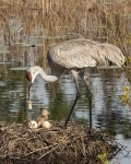 photo of Sandhill with Chick, Egg, & Cleanup