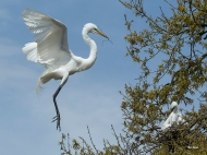 Photo of Great Egret returning to nest with twig