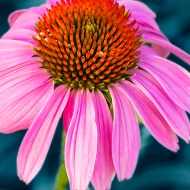 Close up photo of Cone Flower