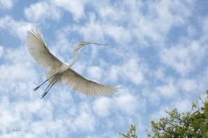 photo of Great Egret flying with a twig
