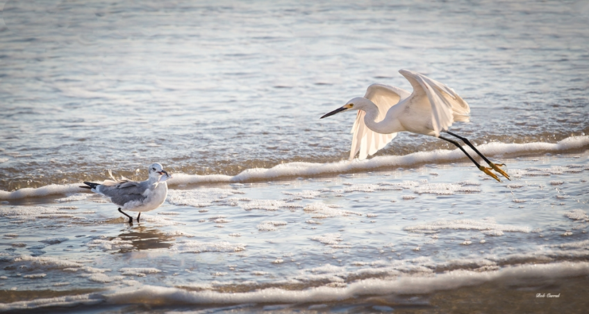 photo of Sea Gull and Snowy Egret at beach
