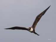 photo of Frigate Bird