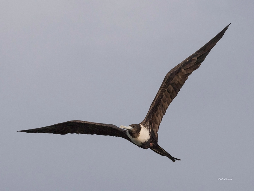 photo of Frigate Bird