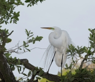 photo of Great Egret on branch