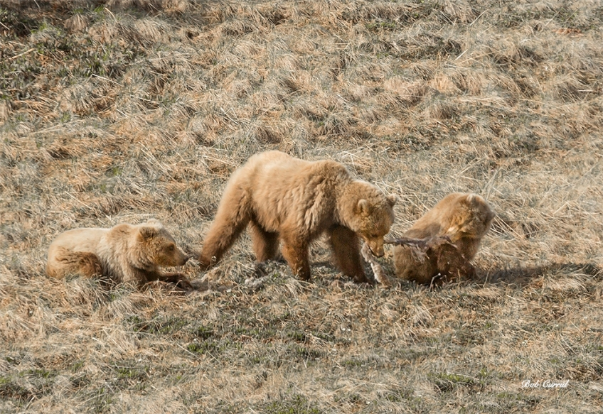 photo of Grizzly family feeding on Caribou