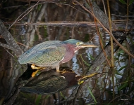 photo of Green Heron reflected in water
