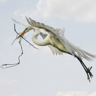 photo of Great Egret Flying with Nesting Material