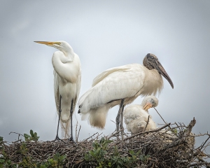 photo of Great Egret Visiting Wood Stork Nest