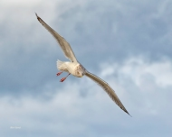 photo of Gull in flight