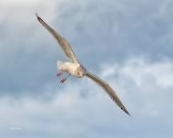 photo of Gull in flight