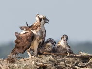 Photo of Osprey and Chicks in Nest