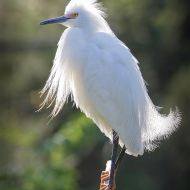 photo of Backlit Snowy Egret