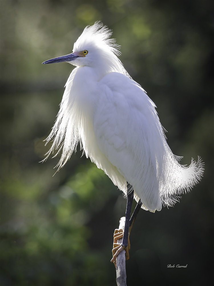photo of Backlit Snowy Egret