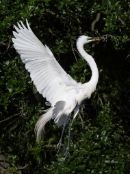 photo of Great Egret Flying away with Twig