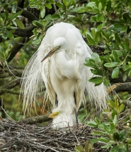 photo of Great Egret with Chick in Nest
