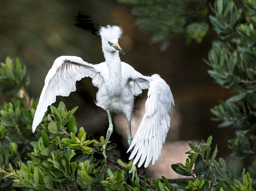photo of Snowy Egret Chick