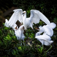 photo of 2 demanding Snowy Egret Juveniles with Parent
