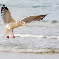 Photo of Sea Gull coming in for landing.