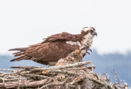 Photo of Osprey and Chick in Nest