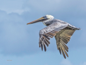 photo of Brown Pelican in flight