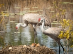 Photo of Sandhill Cranes looking over new chick and egg in nest.