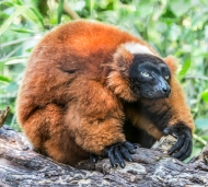 photo of Didema Sifaka