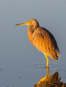Photo of Tricolor Heron taken at sunrise