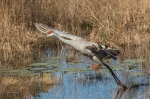 photo of Sandhill Crane taking off from pond